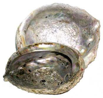 "5""- 6"" Abalone Shell Incense Burner"